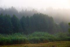 Fog in e dense coniferous forest. Stock Image