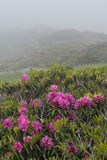 Fog Engulfs Rhododendron Blooms Stock Photos
