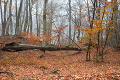 Fog and fallen leaves. Autumn forest with fog among trees and a lot of fallen leaves Royalty Free Stock Images