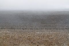 Fog on the field with black soil and dry stems of sunflowers Stock Photography