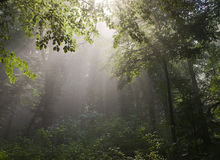 Fog in forest Stock Photography