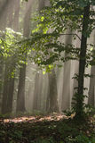 Fog in the forest. Cold fog spreads in the early morning through the autumn forest Stock Photo