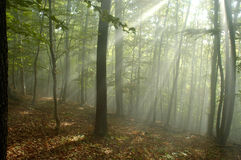 Fog in forest royalty free stock images