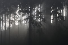 Fog in forest. Sun light go through fog in forest Royalty Free Stock Photos