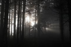 Fog in the forest. Sun light go through fog in forest Stock Images