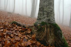 Fog in the forest 5. Autumn forest in the morning fog with large beech tree bole in foreground Stock Images