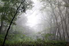 Fog in the forest. Fog in the autumn forest Stock Photo