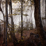 Fog forest. Autumn beautiful forest and fog Royalty Free Stock Photography