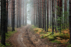 Fog in the forest. On an autumn morning Royalty Free Stock Photo
