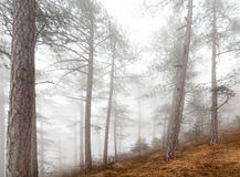 Fog forest. Beautiful misty forest on sky background Royalty Free Stock Photo