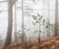 Fog forest. Beautiful misty forest on sky background Stock Photography