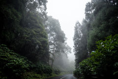 Fog in forest on drive road. Green misty forest and drive road among high trees with white background Stock Photo