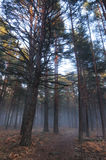 Fog in the forest floor. A cold winter tare Royalty Free Stock Images