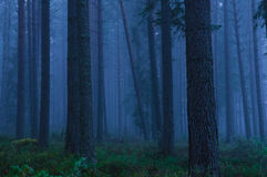 Fog in the forest. A foggy day in the ancient forest Royalty Free Stock Photography