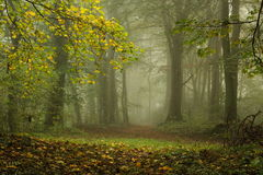 Fog in the forest. Foggy morning in the green forest in beginning of autumn Stock Photo