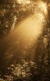 fog forest gold Στοκ Εικόνες