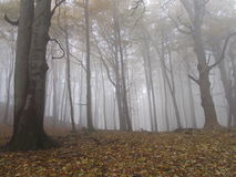 Fog in the forest. Misty forest in the day Royalty Free Stock Photo