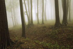 Fog in a forest with old trees Stock Photo