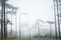 Fog in forest. Pine forest with white fog Stock Images