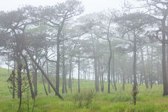 Fog in forest. Pine forest with white fog Royalty Free Stock Photo