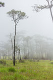 Fog in forest. Pine forest with white fog Royalty Free Stock Images