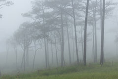 Fog in forest. Pine forest with white fog Stock Photo