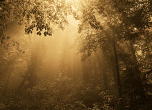 Fog in gold forest. Forest at autumn,sunset and lights Royalty Free Stock Photos