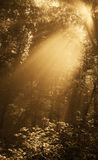 Fog in gold forest Stock Images