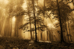 Fog in the gold forest. Cold fog spreads in the early morning through the autumn forest Stock Images
