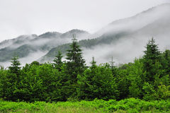Fog in the green forest Stock Image