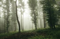 Fog through the green forest Stock Image