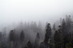 Fog and high forest Royalty Free Stock Images