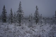 Fog lifting from the pines and brush with fresh snow fall. Stock Photo