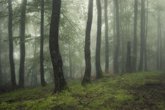 Fog and light in a green forest in summer Royalty Free Stock Photo