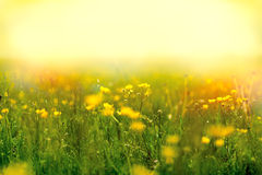 Fog in a meadow full of yellow flowers Stock Photo