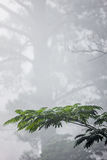 Fog, mimosa and pine trees Stock Photos