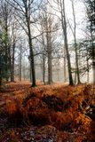 Fog autumn forest, Hoegne, Ardennes, Belgium. Fog in the morning and leafs on the ground, and beech trees in the nature reserve park of Hoegne in the Ardennes royalty free stock photo