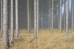 Fog in Natural Spruce Forest Royalty Free Stock Photography