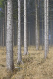 Fog in Natural Spruce Forest Stock Photo