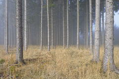 Fog in Natural Spruce Forest Royalty Free Stock Image