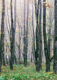 Fog in the oak autumn forest. Tinted photo Stock Images