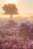 Fog over blooming heather near Hilversum, The Netherlands at sun Stock Photo