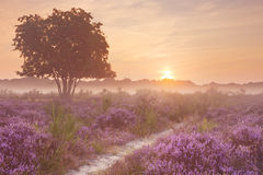Fog over blooming heather near Hilversum, The Netherlands at sun. Blooming heather on a foggy morning at sunrise. Photographed near Hilversum in The Netherlands royalty free stock images