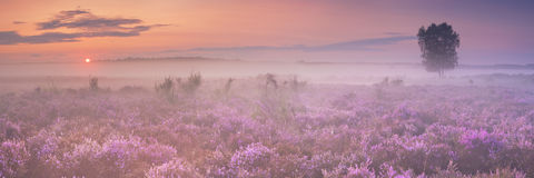 Fog over blooming heather in The Netherlands Stock Photography