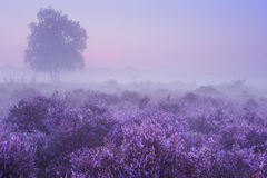 Fog over blooming heather in The Netherlands at dawn Stock Images