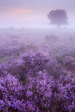 Fog over blooming heather in The Netherlands Royalty Free Stock Photos