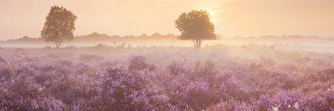 Fog over blooming heather in The Netherlands Stock Images