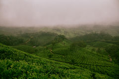 Fog over green tea plantation Stock Photography