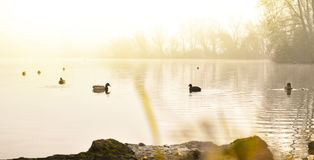 Fog over a lake with swimming ducks. And water reflection. Tranquil scene at sunset or sunrise with warm orange sunlight Royalty Free Stock Photos