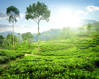 Fog over tea plantations Stock Image